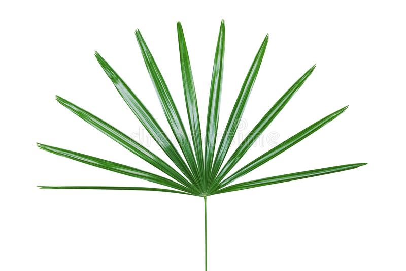 Green Leaf of Lady Palm Plant Isolated on White Backgroud with Clipping Path royalty free stock image