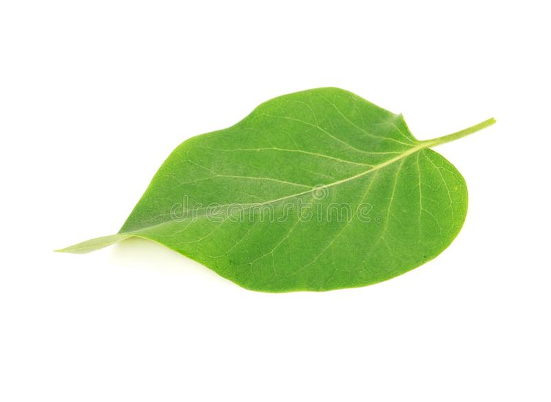 Lilac leaf isolated. Green leaf lilac isolated on white background stock images