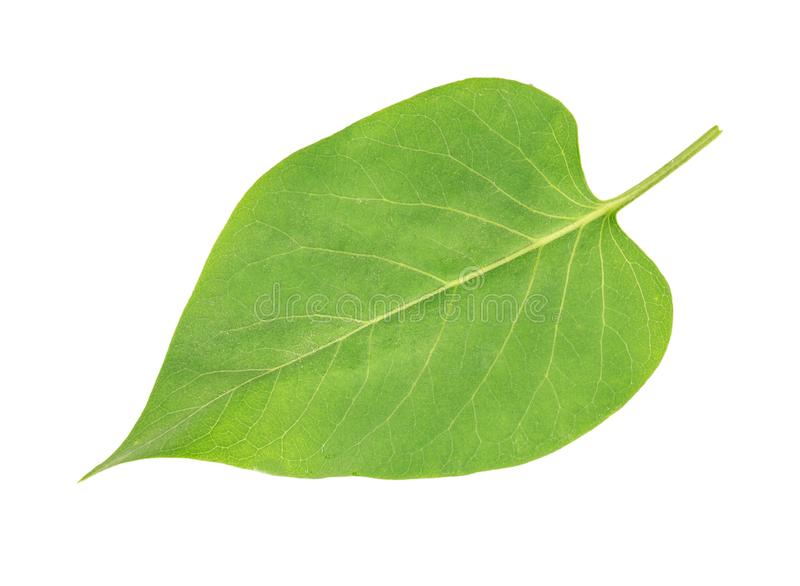 Lilac leaf isolated. Green leaf lilac isolated on white background, top view stock photography