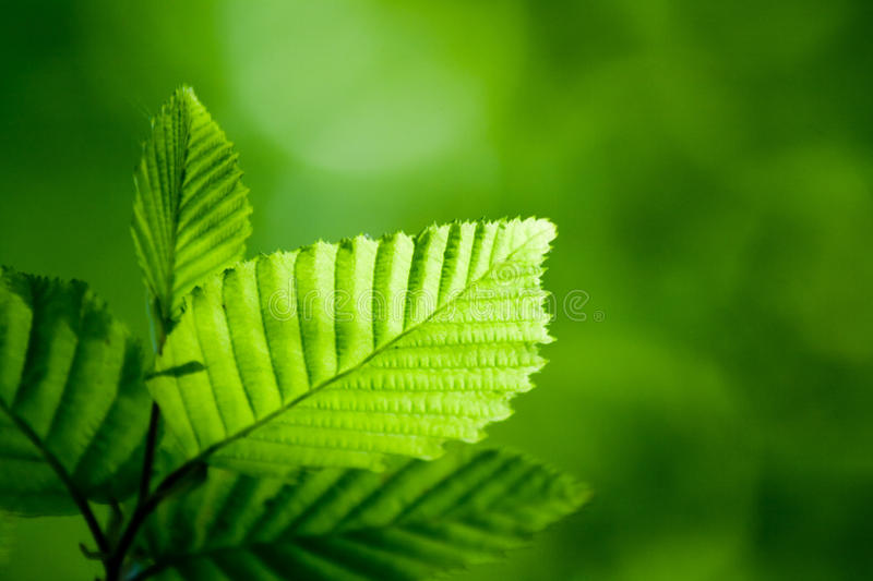 Green leaf lit by sun in spring royalty free stock photo