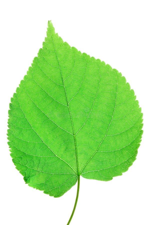 Free Green Leaf Macro Royalty Free Stock Photo - 14418225