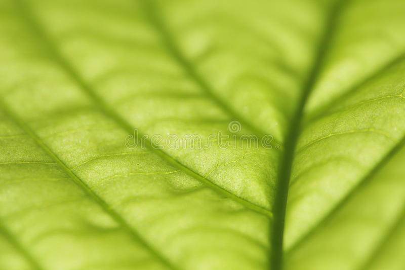 Green Leaf Macro Stock Photography