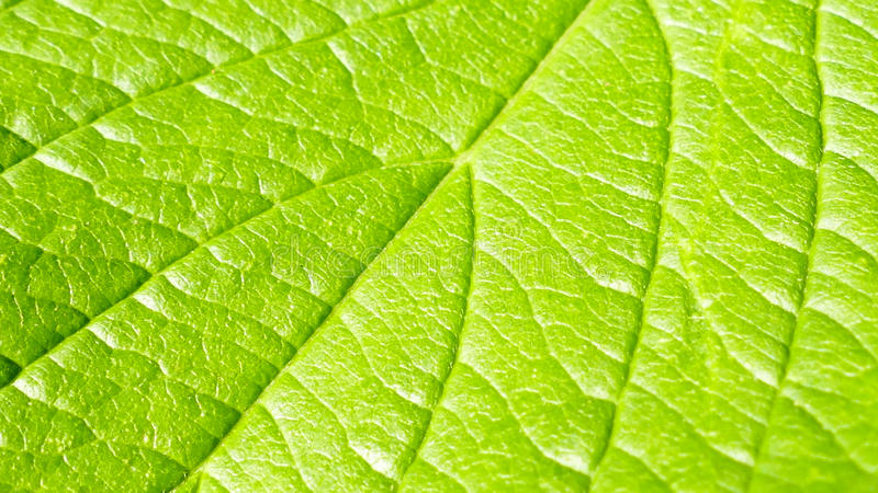 Green leaf macro background royalty free stock images