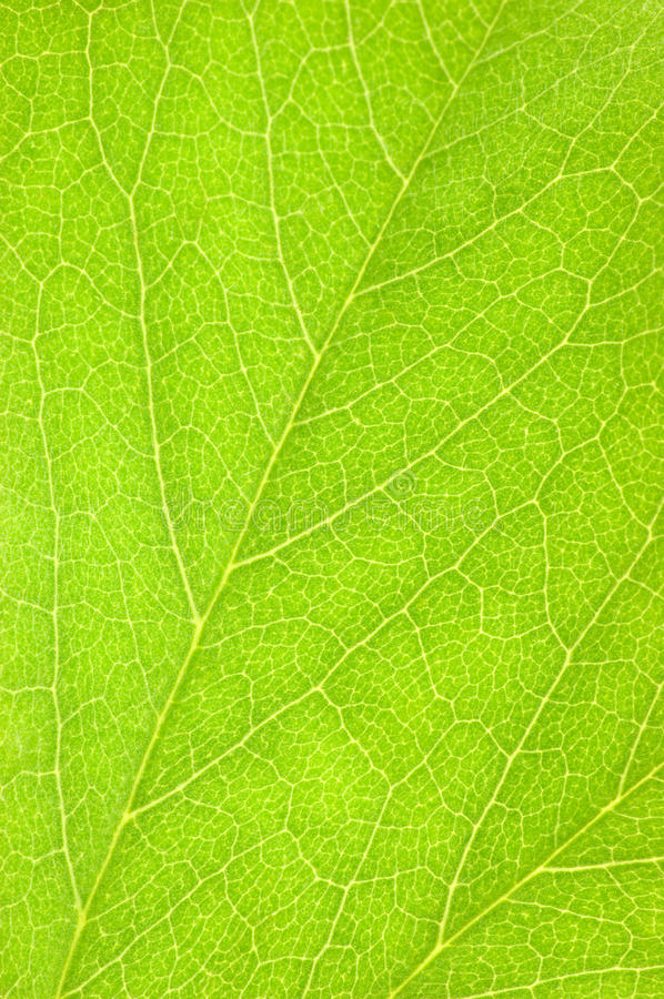 Free Green Leaf Macro Background Texture Stock Images - 10580804