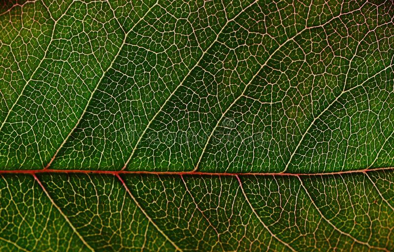 Green Leaf in Macro Photography royalty free stock photo