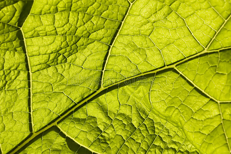 Download Green Leaf With Macro Venation Stock Photos - Image: 4261633