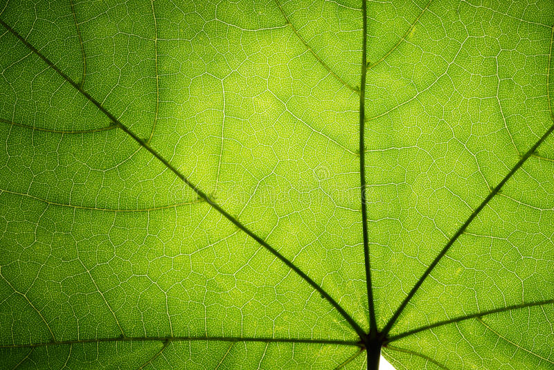 Download Green leaf of a maple stock photo. Image of object, nature - 15949598