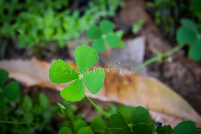 Green leaf of marsilea crenata royalty free stock photography