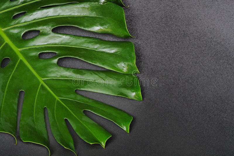 Green leaf Monstera on black background, Tropical plant. stock images