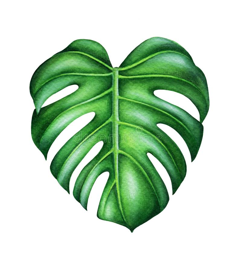 Green leaf of monstera deliciosa. stock photography