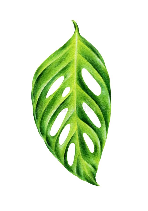 Green leaf of monstera obliqua. royalty free stock images