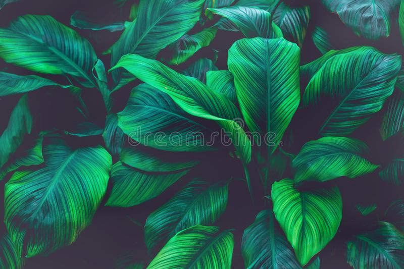 Green leaf natural for background, tiny leaf. Green leaf natural for background, tropical banana leaf texture in garden, abstract green leaf, large palm foliage royalty free stock images