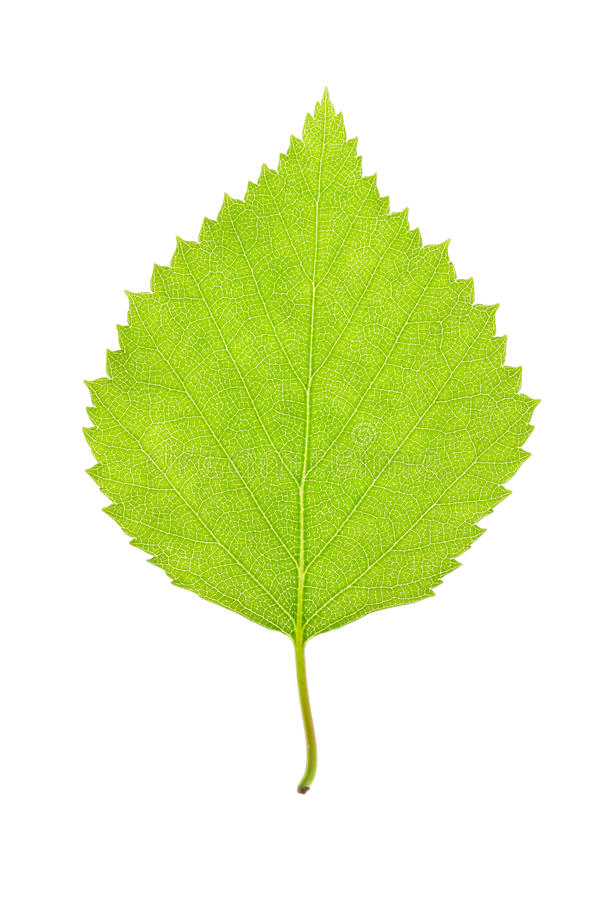 Free Green Leaf On White Stock Images - 37344984
