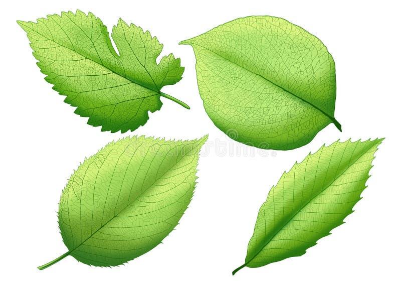 Green leaf paint Fresh leaves  on white background stock illustration
