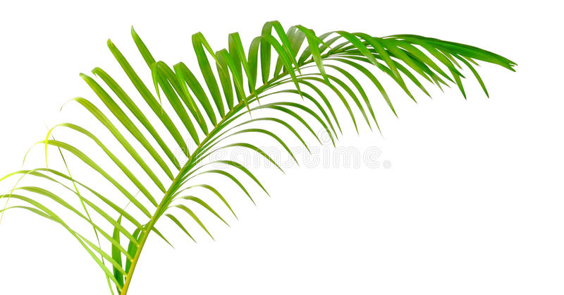 Green leaf of palm tree isolated. On white background royalty free stock photography