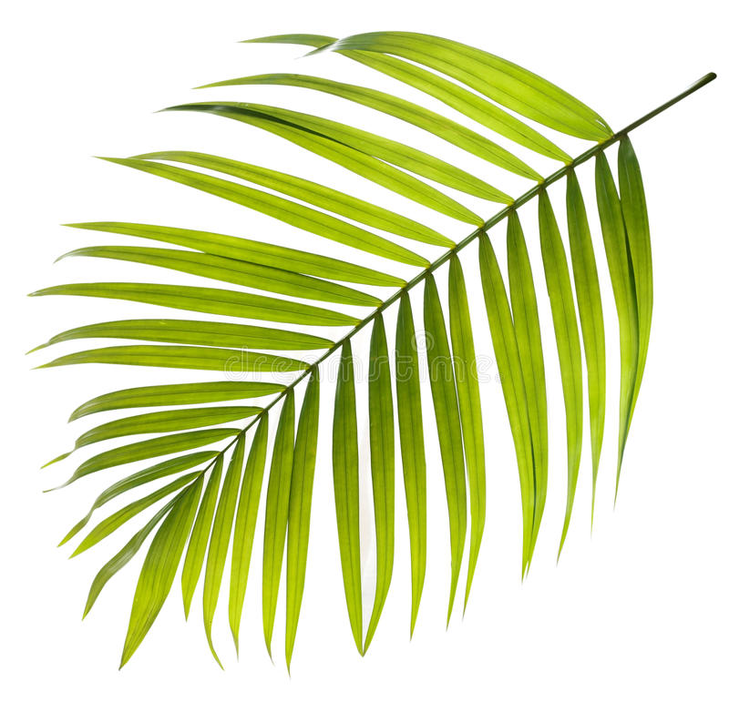 Green leaf of palm tree on white royalty free stock image
