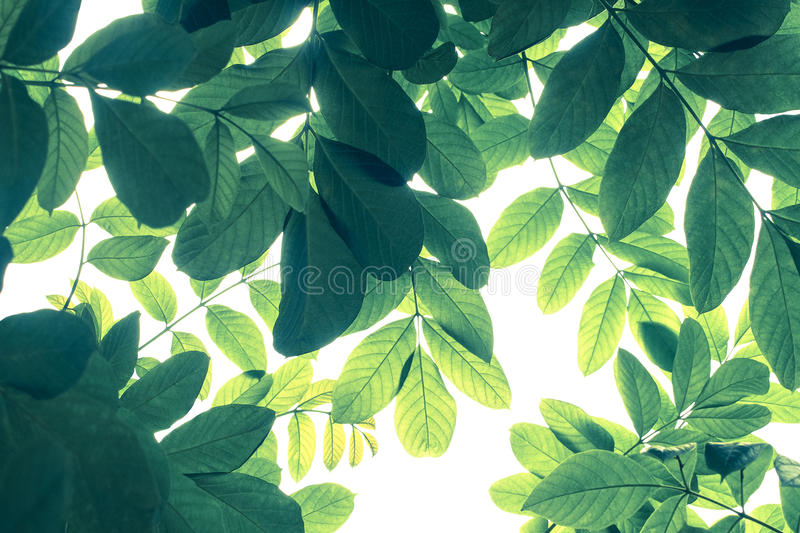 Green leaf pattern in cold tone on white background, nature creative layout of African tulip tree. Spathodea campanulata the tropical dry forest plant stock photo