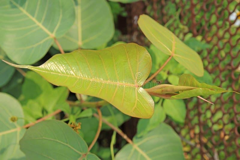 Green leaf Pho leaf, bo leaf,bothi leaf. Green leaf Pho leaf, bo leaf,bothi leaf royalty free stock images