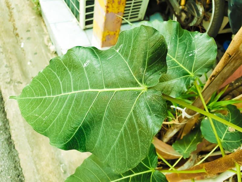 Green leaf Pho leaf, bo leaf,bothi leaf. Green leaf Pho leaf, Bo leaf have v-shape or heart shape stock photography