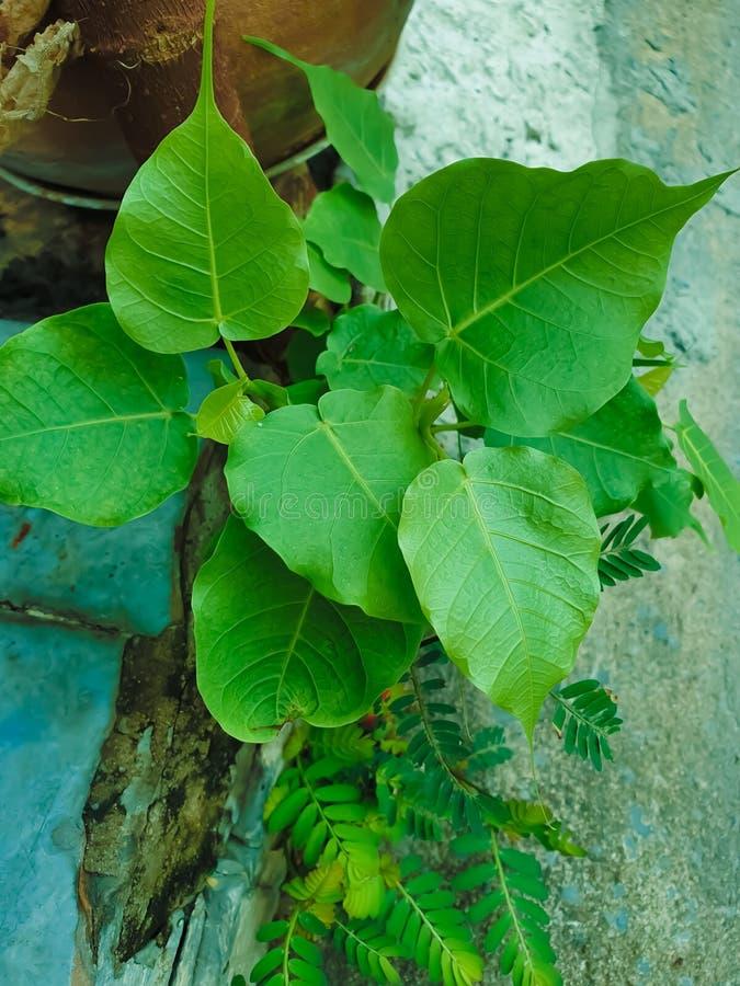Green leaf Pho leaf, bo leaf,bothi leaf. Green leaf Pho leaf, Bo leaf have v-shape or heart shape stock image
