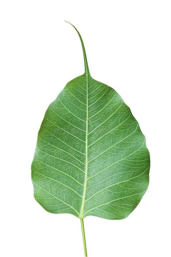 Green leaf Pho leaf, bo leaf,bothi leaf isolated on white background.  stock photo
