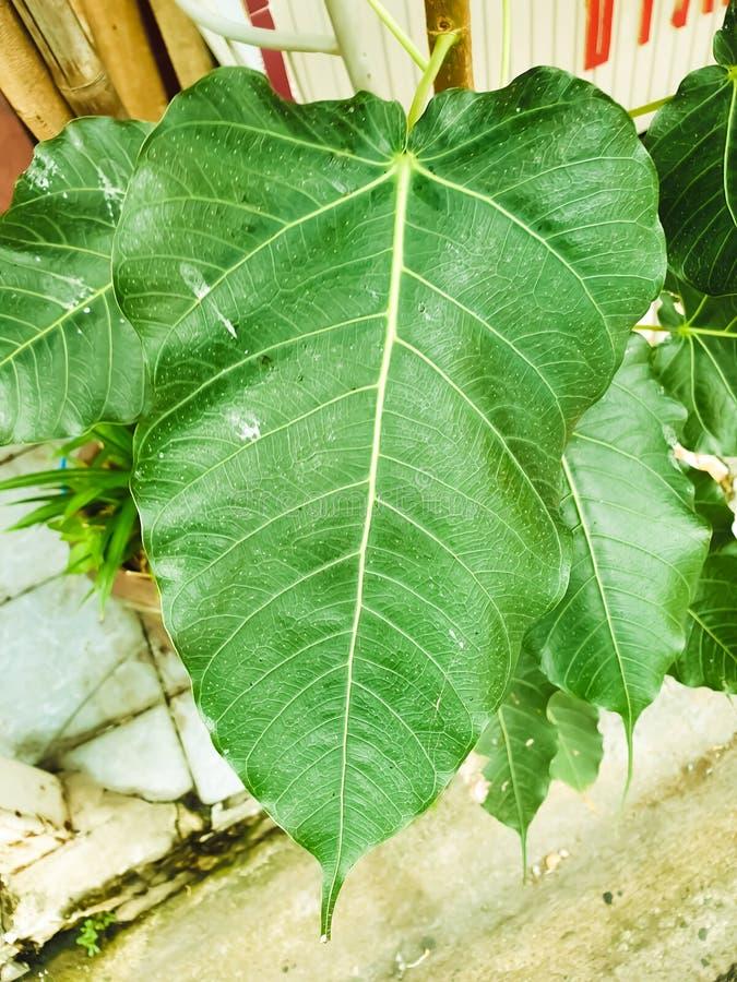 Green leaf Pho leaf, bo leaf,bothi leaf. Green leaf Pho leaf, Bo leaf have v-shape or heart shape stock images