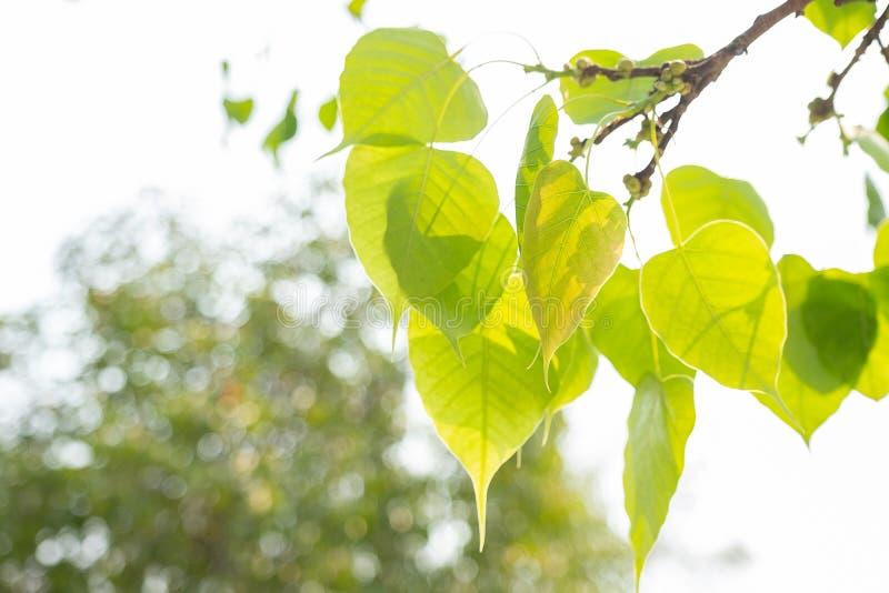 Green leaf Pho leaf, Bo leaf have v-shape or heart shape. Thailand royalty free stock image