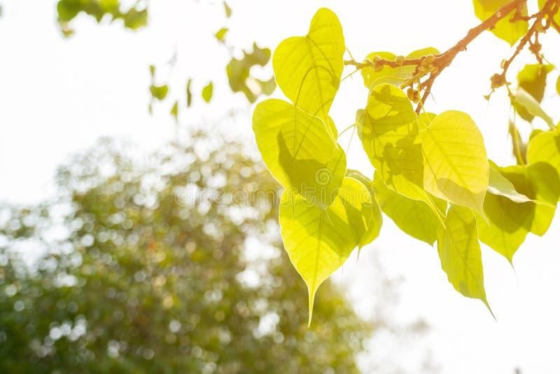 Green leaf Pho leaf, Bo leaf have v-shape or heart shape. Thailand stock photo