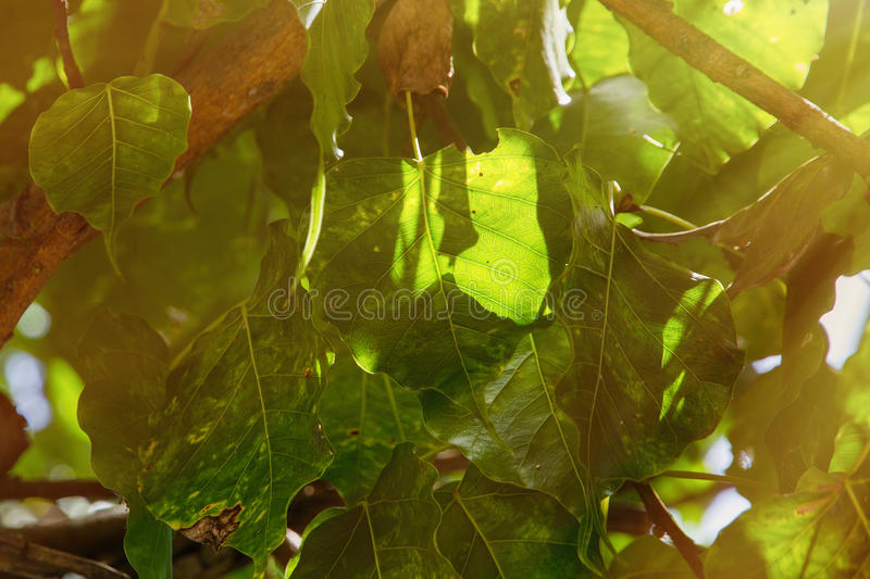 Green leaf Pho bo tree leaf in temple, Thailand. Bothi tree, Pip. Al tree leaves background stock images