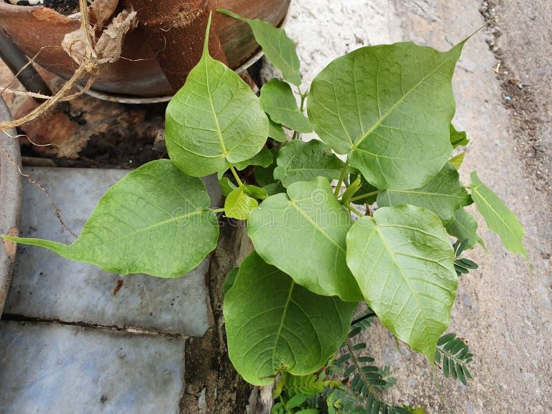 Green leaf Pho leaf, bo leaf,bothi leaf. Green leaf Pho leaf, Bo leaf have v-shape or heart shape stock photo
