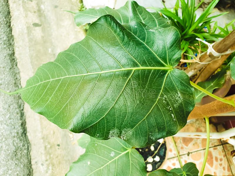 Green leaf Pho leaf, bo leaf,bothi leaf. Green leaf Pho leaf, Bo leaf have v-shape or heart shape royalty free stock photo