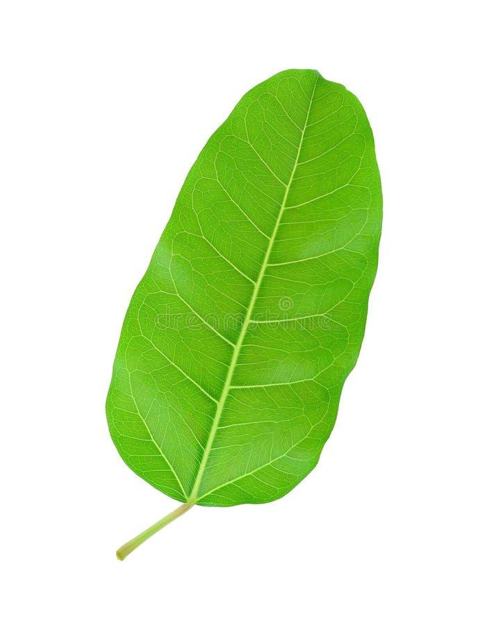 Green leaf Pho leaf, (bo leaf,bothi leaf) isolated on white. Background royalty free stock photography