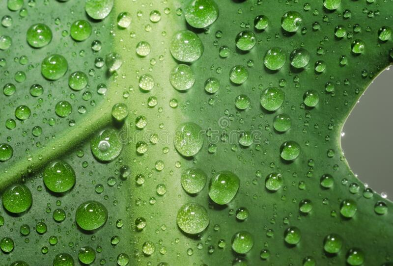 Green leaf of a plant with dew drops close up. Green leaf of a plant with dew drops in detail macro closeup royalty free stock photos