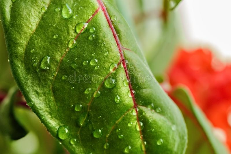 Green leaf of a plant or flower with water drops from the rain. Pure nature close up. Macro photo stock photography