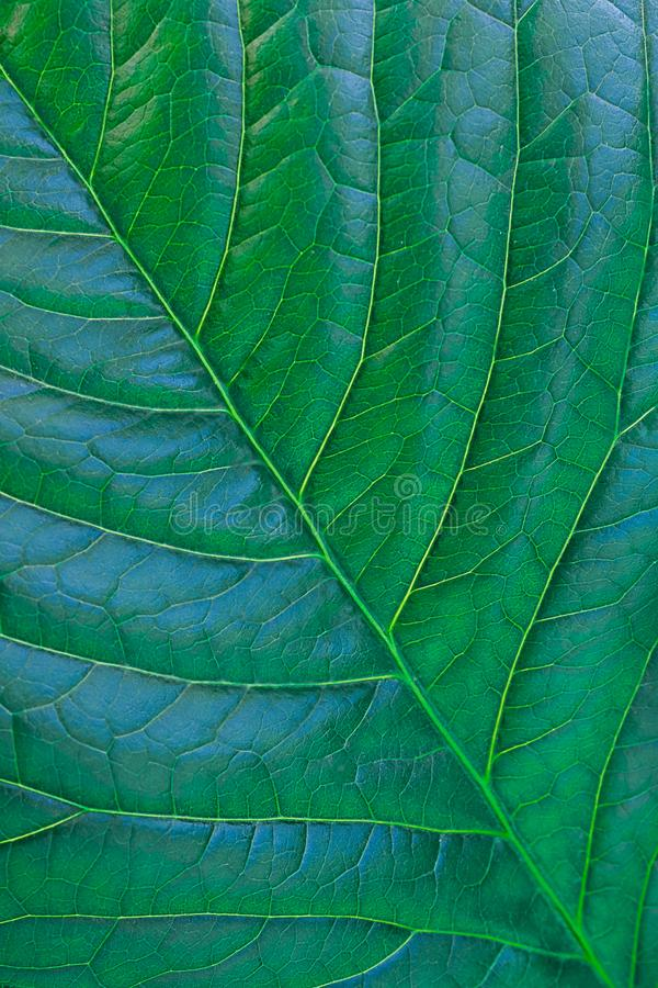 Green leaf of a plant or shrub, close-up. The structure of the foliage. Textured background. Free space for text.  royalty free stock photo