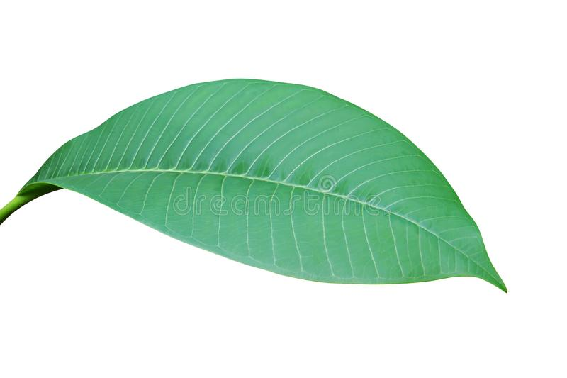 Green Leaf of Plumeria Tree Isolated on White Background royalty free stock image