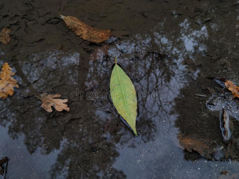 Green leaf in a puddle of water stock photography