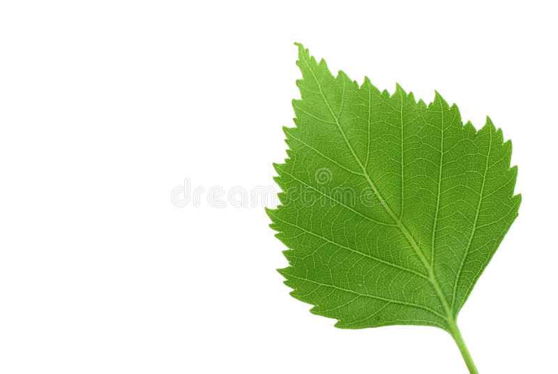 Green leaf on pure white background royalty free stock image