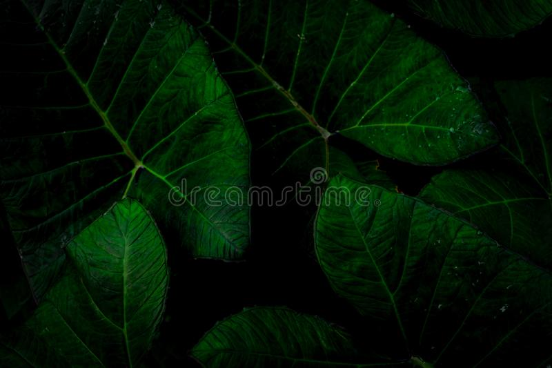 Green leaf with rain drop in jungle. Water drop on leaves. Green leaf texture background with minimal pattern. Green leaves in tro royalty free stock photos