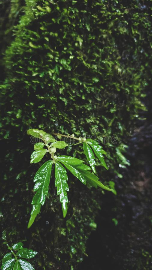 Green leaf with rain drop and moss nature background season winter at mountain wild photo shoot by smartphone royalty free stock images
