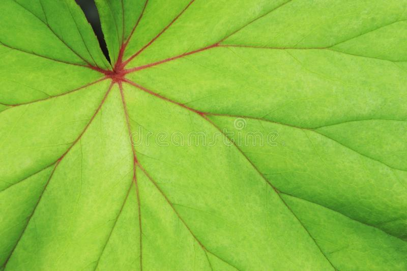 Green Leaf Red Vein of Begonia Plant as Natural Texture Background stock images