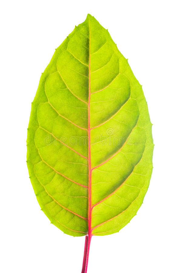 Download Green leaf with red veins stock photo. Image of closeup - 37479406
