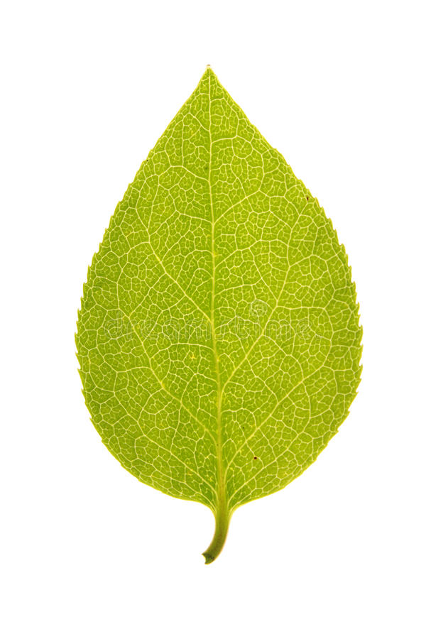 Green leaf of Sakhalin spindle tree isolated on white. Green leaf of Sakhalin spindle tree (Euonymus sachalinensis) isolated on white stock photos