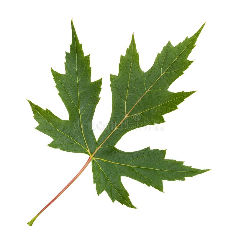 green leaf of Silver Maple tree isolated stock photo