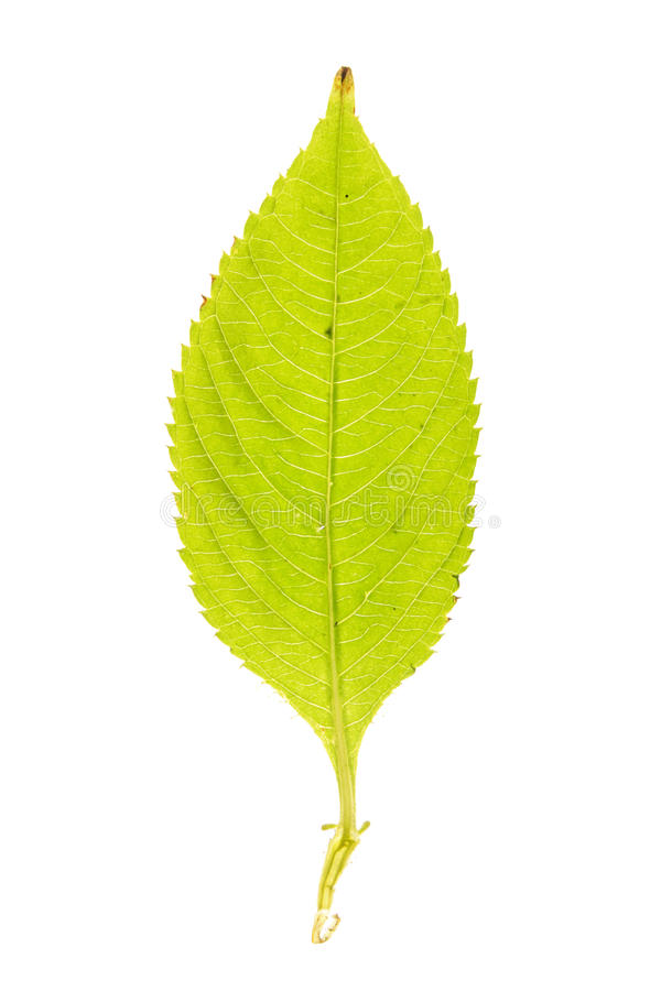 Green leaf of Small Balsam isolated on white. Green leaf of Small Balsam (Impatiens parviflora) isolated on white royalty free stock images