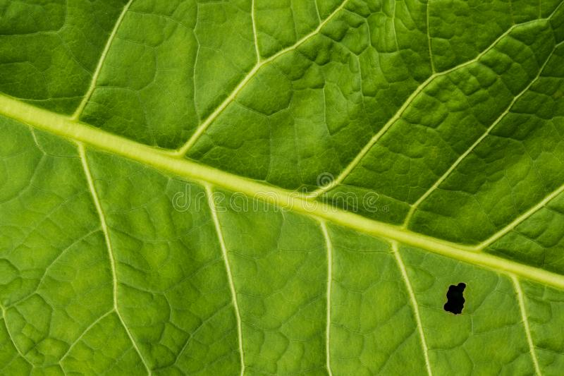 Green leaf with a small hole stock images