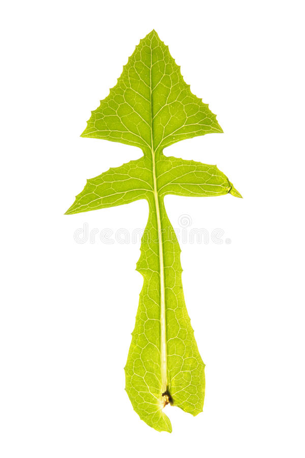 Green leaf of Sowthistle (Sonchus oleraceus) isolated on white stock images