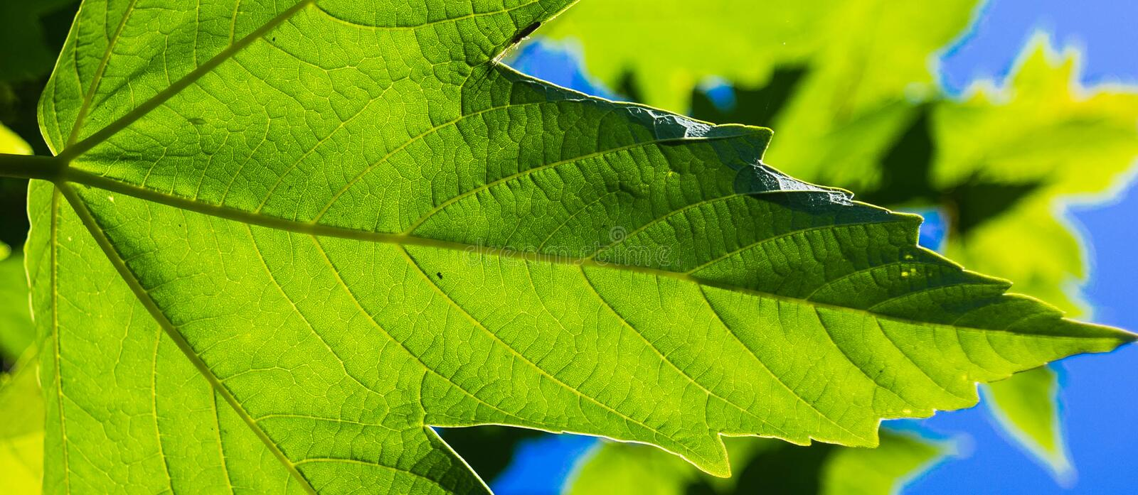 Download Green leaf stock image. Image of spring, nature, seethrough - 31455471
