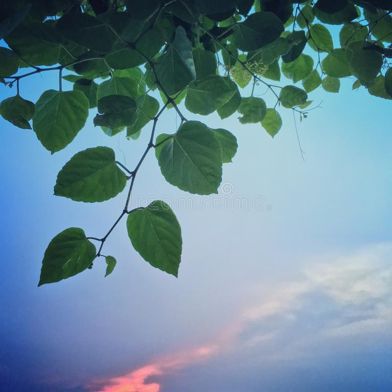 Green leaf on sunset blue sky in nature. The Green leaf on sunset blue sky in nature stock image