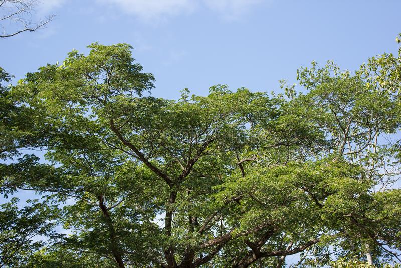 Green Leaf of teak tree royalty free stock photo